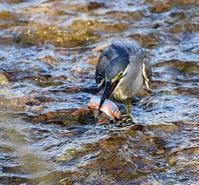 オイカワ漁は終わったようですね・・・ - 一期一会の野鳥たち