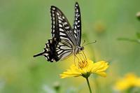 キバナコスモスと蝶たちと、猫 - 子猫の迷い道Ⅱ