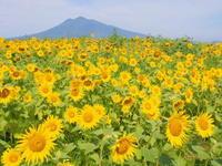 ひまわり畑(弘前市若葉)*2018.08.19 - 津軽ジェンヌのcafe日記