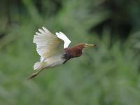 アカガシラサギ - 『彩の国ピンボケ野鳥写真館』