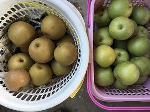 なつしずくと新高収穫開始('18.8.21) - 果樹園