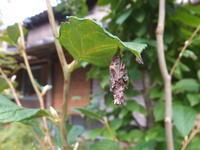 ミノムシの一生 - アオモジノキモチ