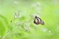 アサギマダラ花言葉 - お花びより