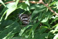 ミスジチョウの産卵と若齢幼虫(8月上旬) - 探蝶逍遥記
