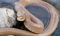 ヘビ -たぶん「ジムグリ」と「シマヘビ」- - 西蔵坊だより