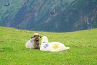 フェントの可愛い羊たち♡ - エーデルワイスPhoto