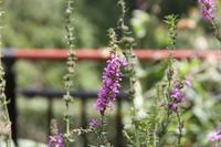 艶やかな小花が美しいパープルルースストライフ - 神戸布引ハーブ園 ハーブガイド ハーブ花ごよみ