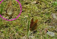 山ではクモガタヒョウモン覚醒 - 秩父の蝶