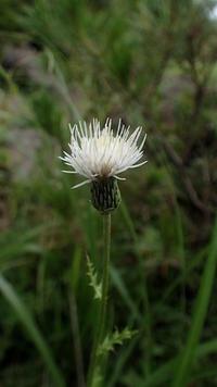 白い薊 - 世話要らずの庭