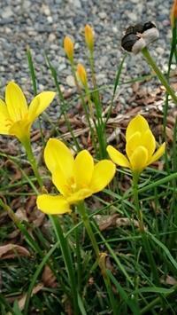 黄色のゼフィランサス増えて困ります。 -   心満たされる生活