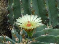 京都府立植物園の温室の花とアサガオ - 彩の気まぐれ写真