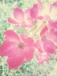 The last rose of summer - IL EST TROP TARD     時は過ぎゆく ...