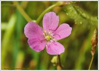ナガバノイシモチソウ(食虫植物)-2 - 野鳥の素顔 <野鳥と日々の出来事>