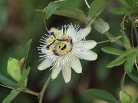 『時計草(トケイソウ)の花と実』 - 自然風の自然風だより