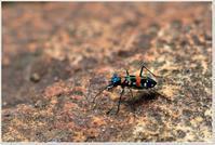 美しい昆虫「ハンミョウ」 - ハチミツの海を渡る風の音
