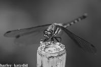 アキアカネ - harley-katydid
