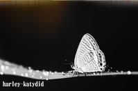 ナミウラシジミ - harley-katydid