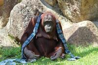4月のボルネオオランウータン~甘えん坊たちの昼下がり - 続々・動物園ありマス。