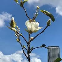 モクレンの狂い咲き - 緑のしずく (ベランダガーデン便り)