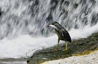 獲物を捕獲するササゴイ1 - ひげ親爺の探鳥日記