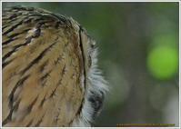 近過ぎたワシミミズク - 野鳥の素顔 <野鳥と日々の出来事>