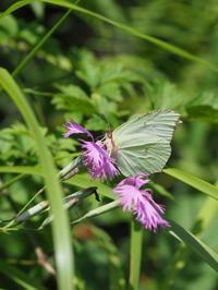 ヤマキチョウ - 自然を楽しむ