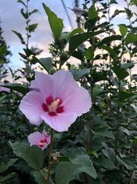 ムクゲが咲いていました(^_^) - 自然の中でⅡ