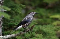 日本一のホシガラス - 野鳥公園