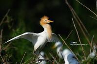 アマサギ(猩々鷺) - azure 自然散策 ~自然・季節・野鳥~