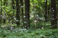 森の妖精…レンゲショウマ - 上州自然散策2