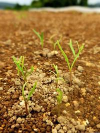 ニンジン発芽 - 農と自然のさんぽみち・やまだ農園日記