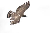 クマタカ 至近飛翔 - expeedのbirdisland あの日あの時あの場所で・・・volⅡ