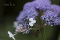 玉紫陽花*御岳山 - MIRU'S PHOTO