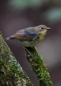 コルリ幼鳥 - 可愛い野鳥たち 2