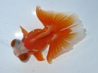 8月24日 新着金魚のご紹介です。 - フルタニ金魚倶楽部blog