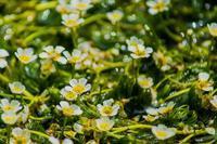 醒ヶ井宿 地蔵川に咲く梅花藻 - 鏡花水月