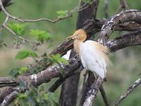 アマサギ - 『彩の国ピンボケ野鳥写真館』