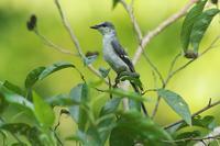 集まり始めたサンショウクイ - 近隣の野鳥を探して