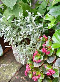 美しいシルバーリーフのコンボルブルス - 小さな庭 2