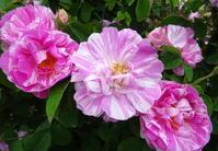 9月からの講座その他のお知らせ - 元木はるみのバラとハーブのある暮らし・Salon de Roses