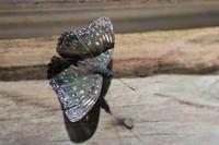 """""""スミナガシ""""と言う名前の蝶を知っていますか? - 上州自然散策2"""