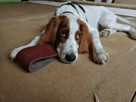 我家に加わった犬のジェイク - Kippis! from Finland