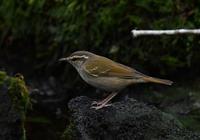 エゾムシクイ - 可愛い野鳥たち 2
