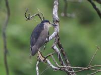 ゴイサギ - 『彩の国ピンボケ野鳥写真館』