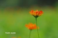 花日記・・・キバナコスモス  - やんまる写真館