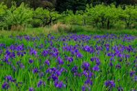カキツバタ咲く花の小径(城陽市) - 花景色-K.W.C. PhotoBlog