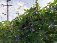 朝顔 - リリ子の一坪ガーデン
