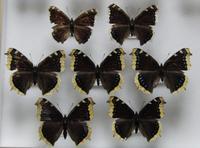 初めてのキベリタテハ - 呑むさん蝶日記