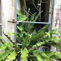 コザの町とオオタニワタリ2018 - ココロとカラダは大事な相方 アーユルヴェーダ案内人・くれはるのブログ