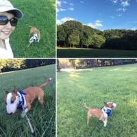 砧公園でバディちゃんに会う - ミニチュアブルテリア ダージと一緒3